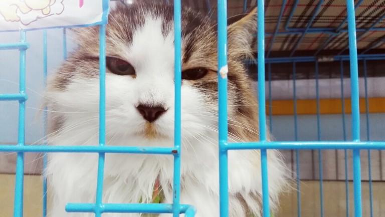 猫咪得了黄疸,肝炎,正在接受治疗中。请问该怎么护理更有助于它