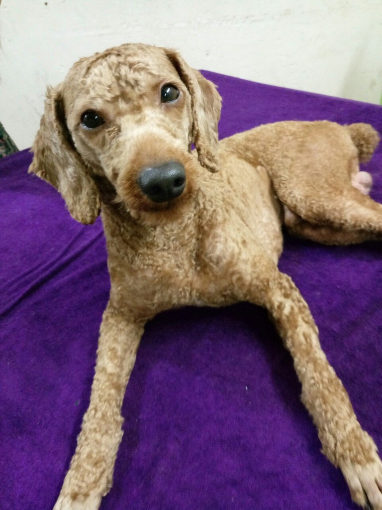 最近几个月我家泰迪狗狗的毛色变得很淡特别是头部上,已经有很多