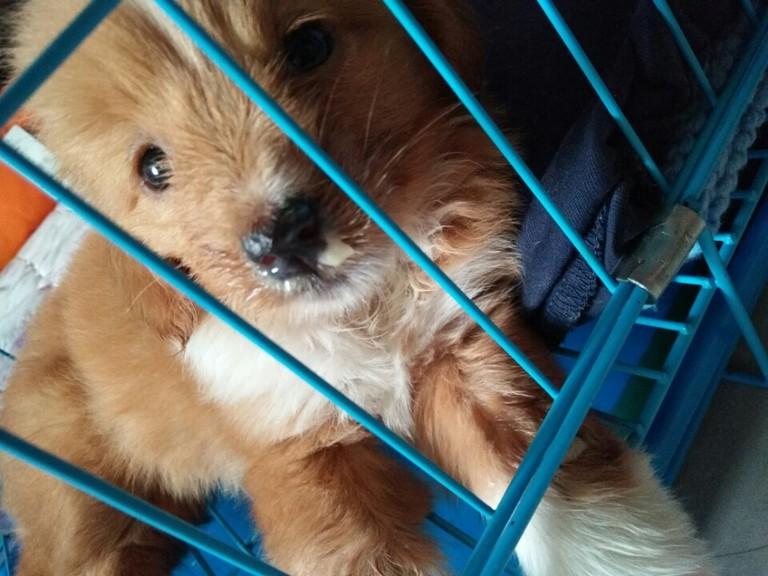 两个月的幼犬,总是趴着没有精神,没有食欲,鼻子流脓状鼻涕,请