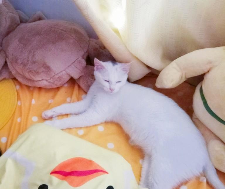 猫咪现在六个月,异瞳,母的,肚子涨涨得,不是怀孕,正常吃饭喝