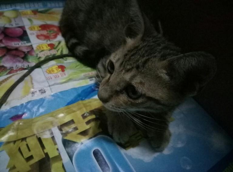 猫咪检查出得了猫瘟,那么多的医疗费,承担不起,不治的话猫咪就