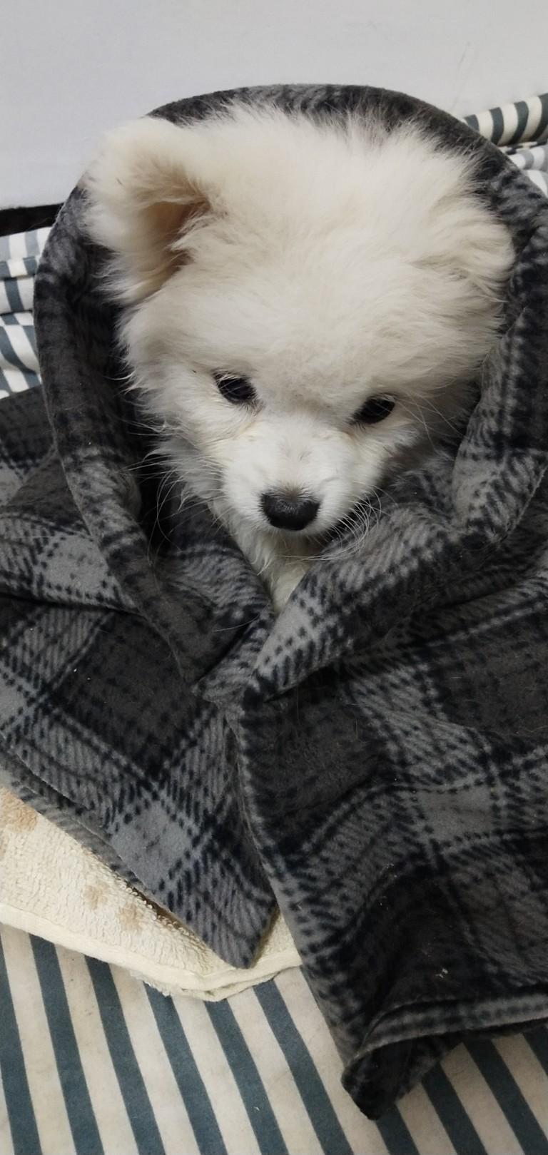 刚抱回来兜兜的时候,兜兜有点拉稀,呕吐,当时去查了犬瘟和细小