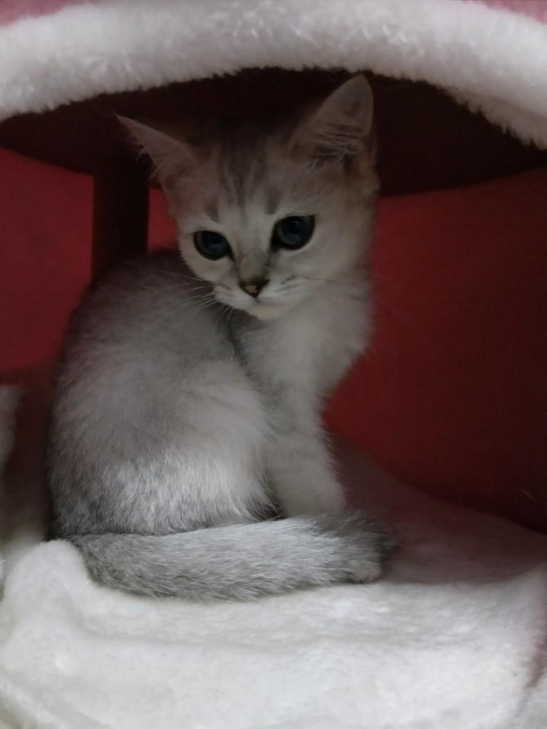 5.4出生的渐层小猫咪,很害羞很安静,也不敢动,一直长不胖,