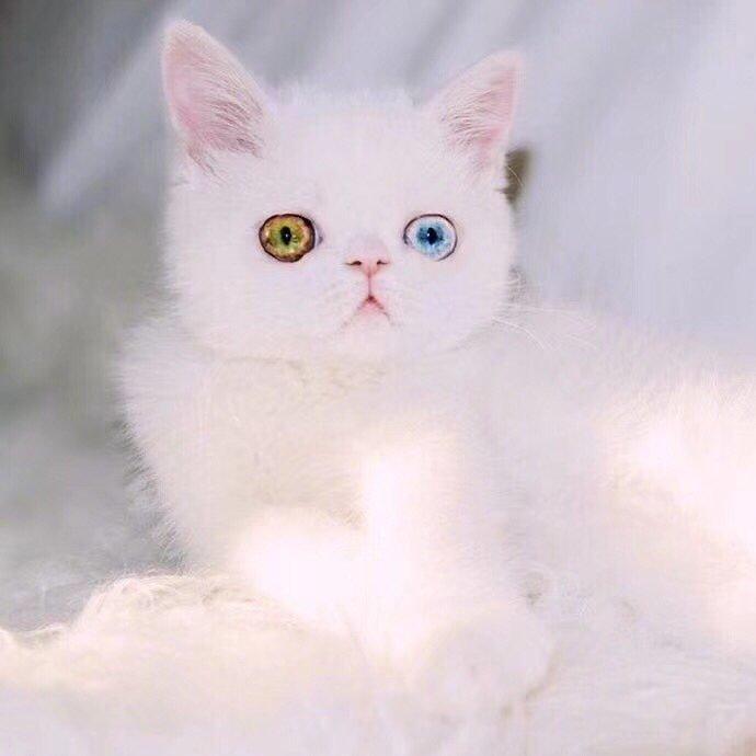 这是什么品种的猫猫,求大神解答
