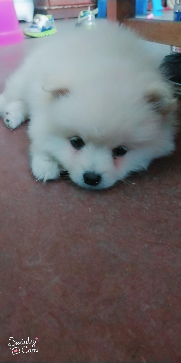 我家的小博美两三个月了,不怎么喜欢吃狗粮,每天定时给他吃点营