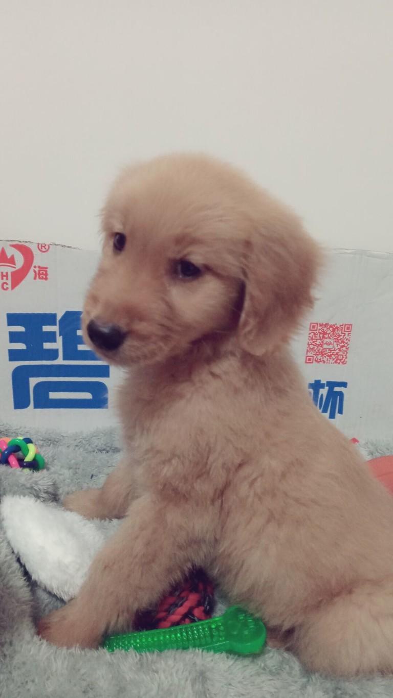 狗狗两个多月左右,是一只小金毛,前几天得了细小,在医院救治,