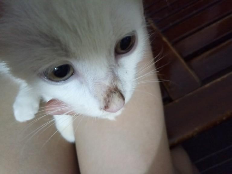 """小猫两个半月,领养回来的时候鼻子有点黑黑的""""痂"""",用清水可以"""